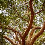De verde para el verano – Las selvas bajas de Sinaloa, que año con año pierden  sus hojas, visten espectaculares tonos con la llegada de las lluvias