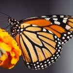 Mariposas Monarca y el viaje de las almas
